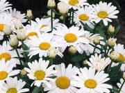 bunga matahari putih