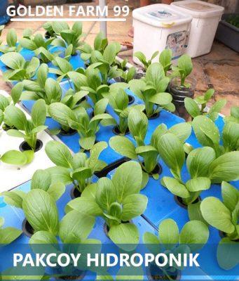 Pakcoy Hidroponik Sistem Wick